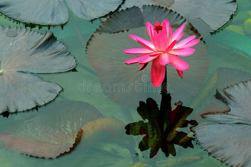 Pink large water lily and reflection royalty free stock photography