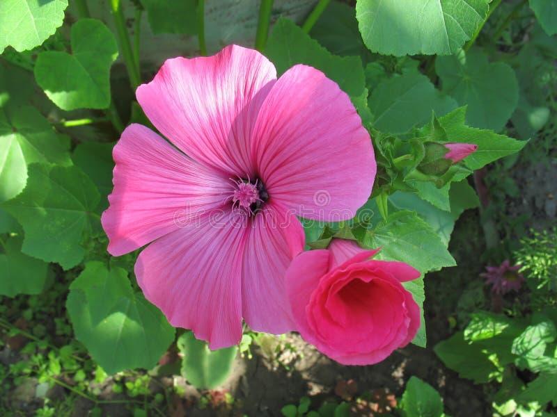 Pink lavatera flowers stock photo