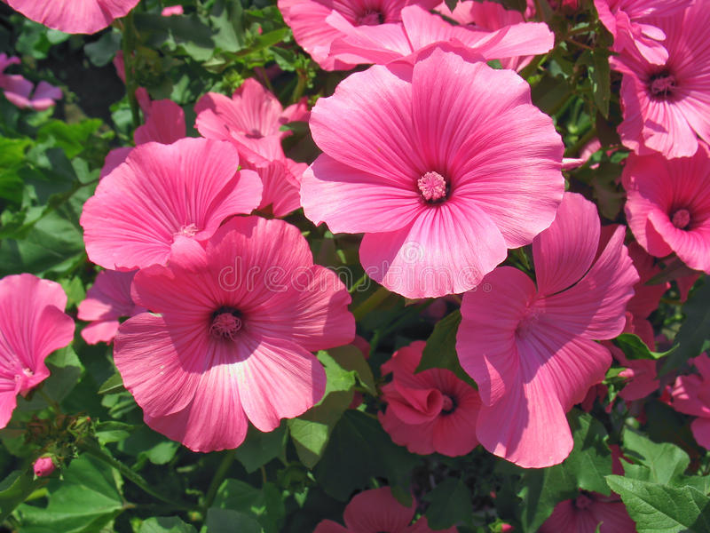Pink lavatera flowers stock photos