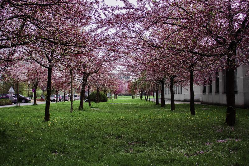 Pink Leafed Trees on Green Grass Field royalty free stock photography