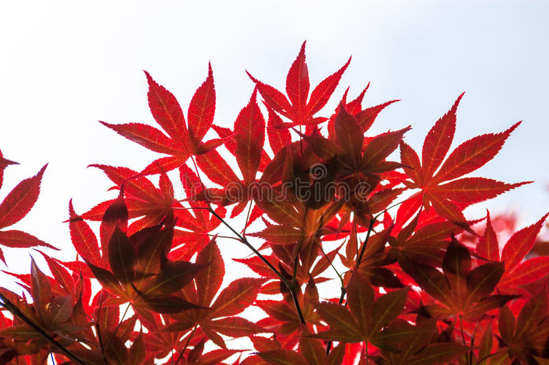 Pink leaves of the Japanese maple (Acer palmatum).  royalty free stock images