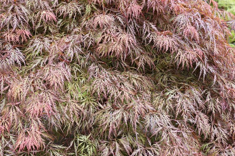 Pink leaves of Japanese maple Acer palmatum. Red leaves of Japanese maple for background Acer palmatum stock image