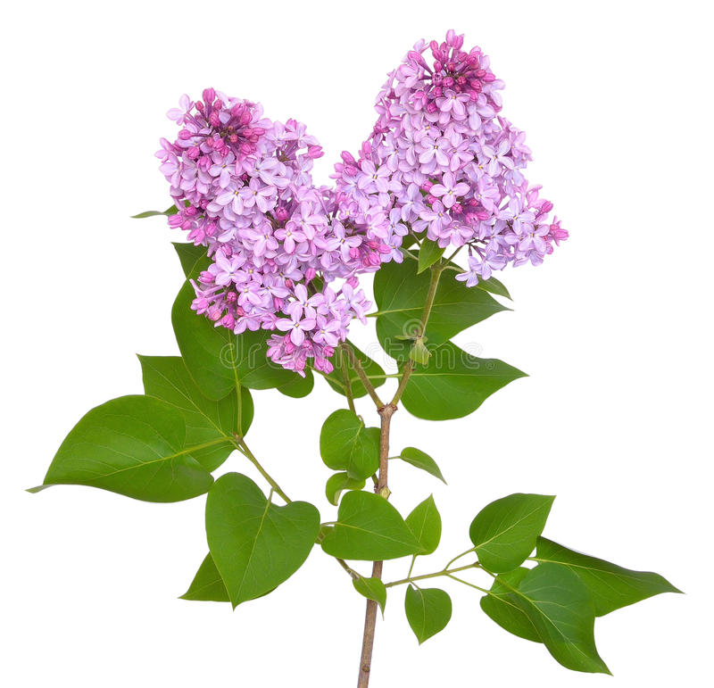 Pink lilac Syringa. Isolated on white background stock images