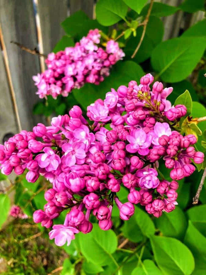 Pink lilac tree stock photo