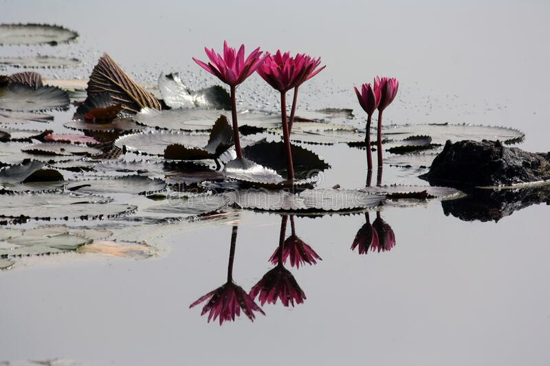 4 Pink Lilies on Pond stock photos