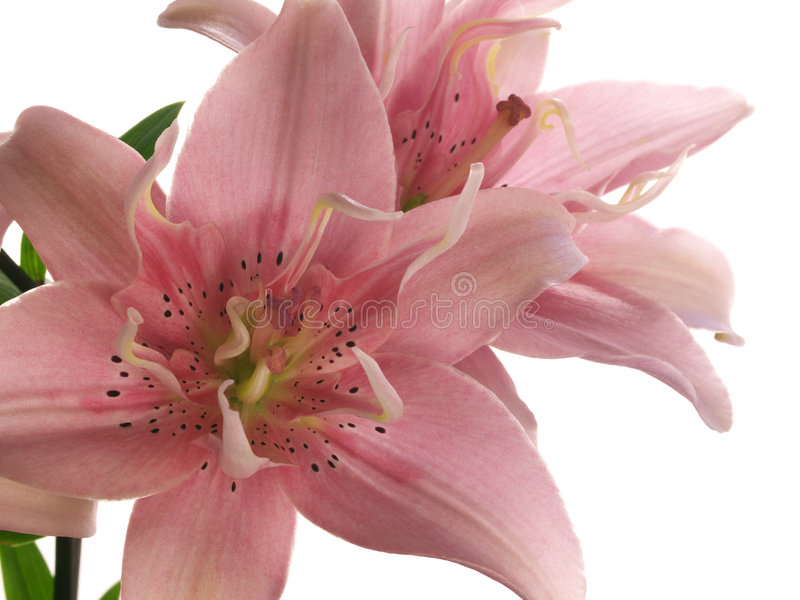 Pink lilies on white royalty free stock photo