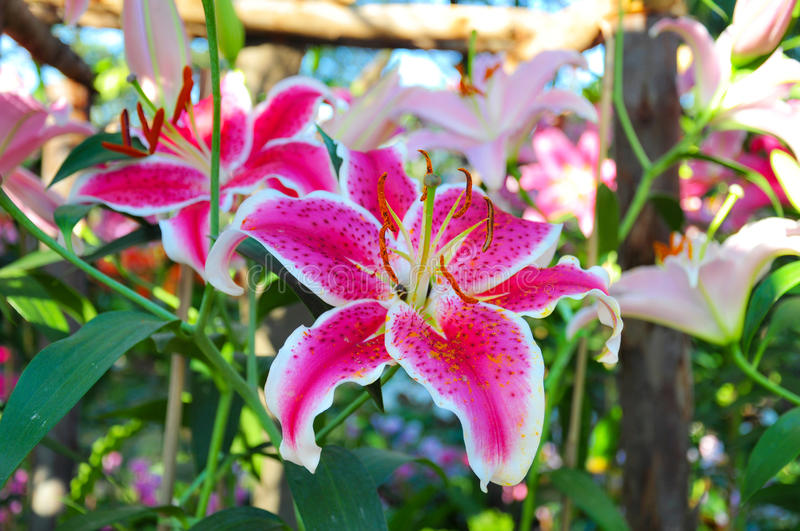 Pink of Lilium hybrids or Lily flower royalty free stock image