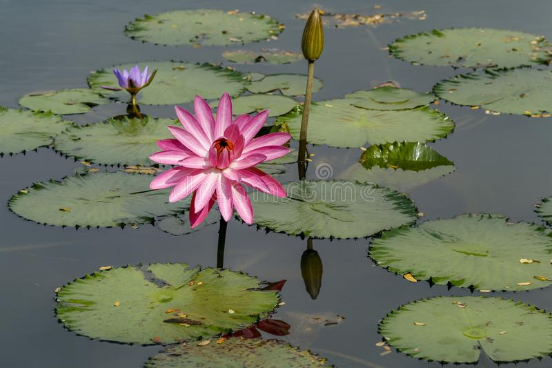 Pink lily in bloom facing towards sun with half open purple bloom behind and closed bloom and lilly pads in the water royalty free stock photography