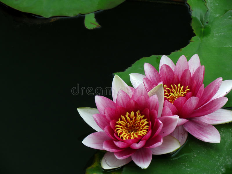 Download Pink lily flower stock photo. Image of nature, garden - 24898668
