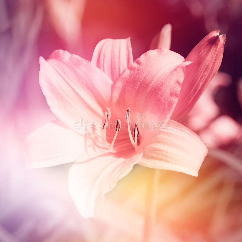 Download Pink Lily Flower Stock Photo - Image: 25451130