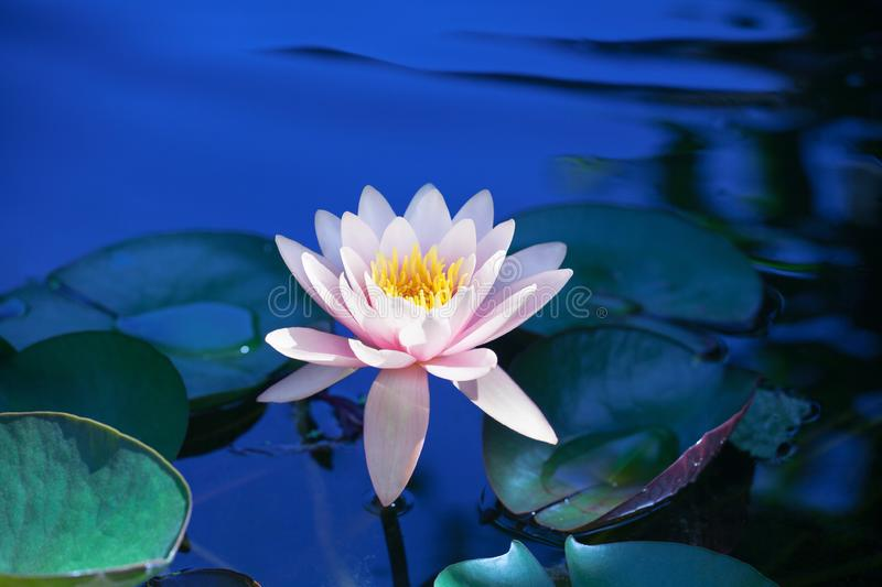 Pink lily flower blossom on blue water and green leaves background close up, beautiful purple waterlily in bloom on pond, lotus royalty free stock photos