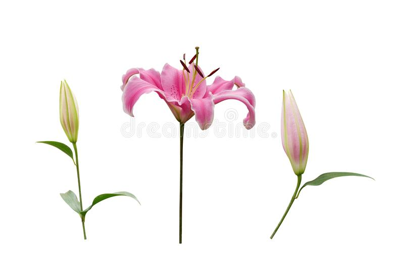 Pink lily flower with buds isolated on white background, path royalty free stock photography