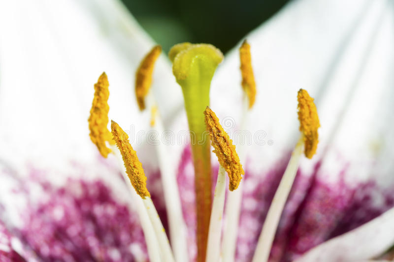 Pink lily flower closeup view royalty free stock images