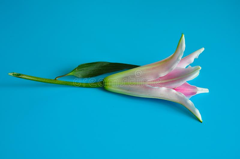 Pink LILY flower isolated blue background stock image