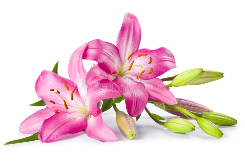 Pink lily flower isolated on white stock photos