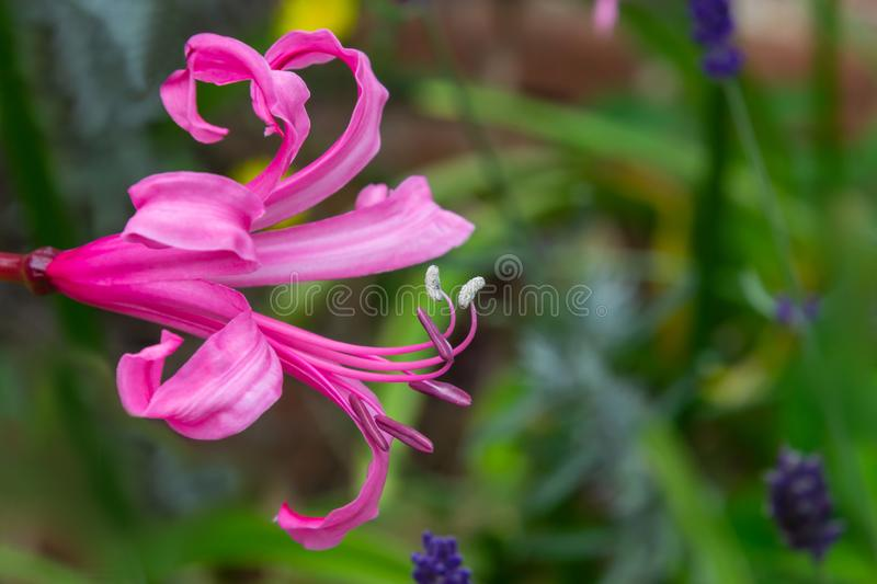 Pink lily flower with stamens and pestles in the garden on a blurry green background stock images