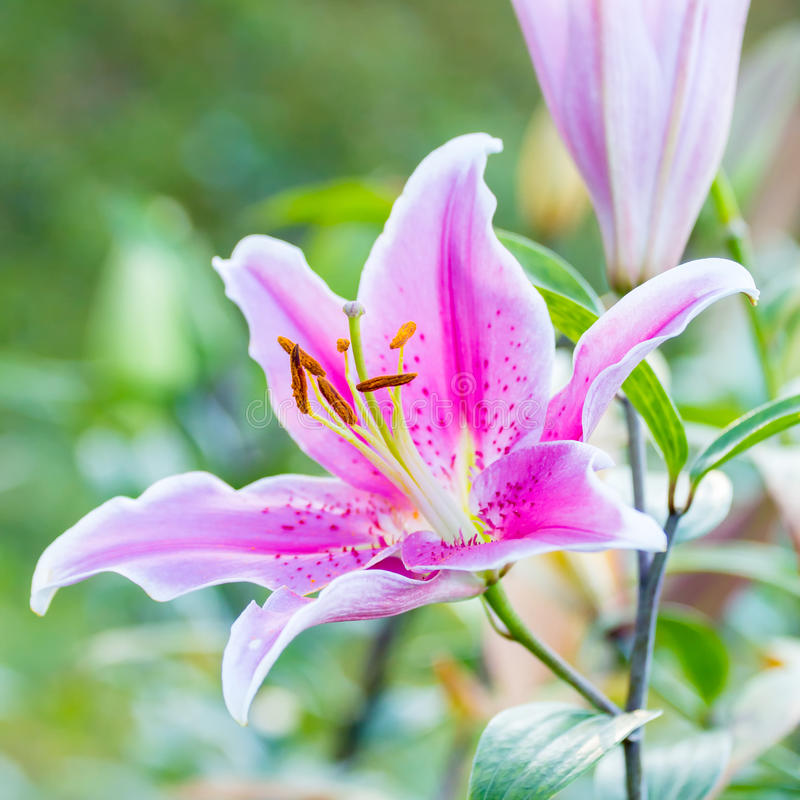Pink lily flowers royalty free stock photos