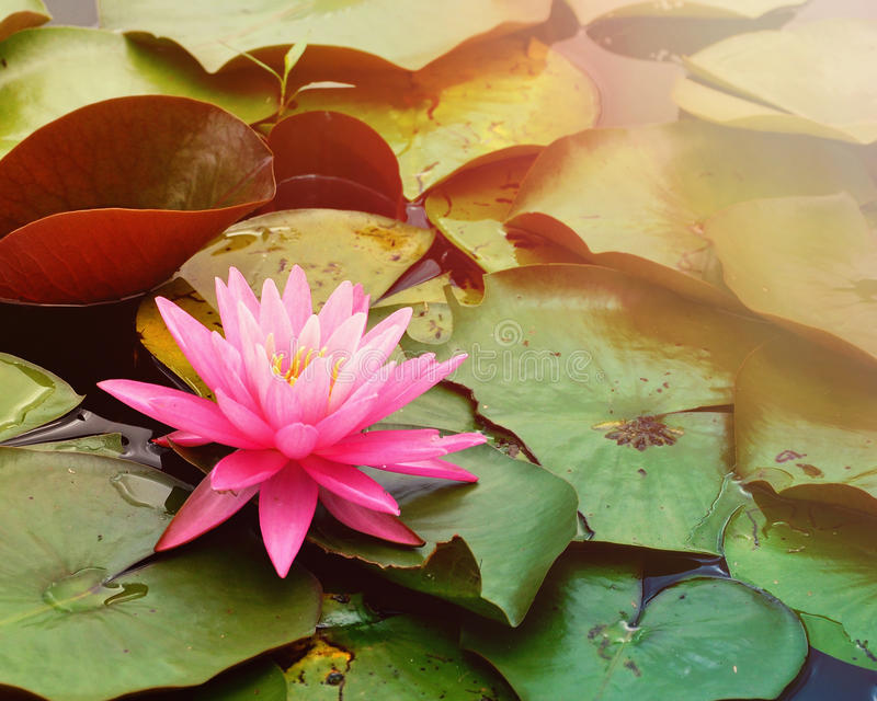 Pink Lily Pad in Water with Copyspace. A single pink lily pad is on a pond of water for a tranquil or nature scene royalty free stock photo