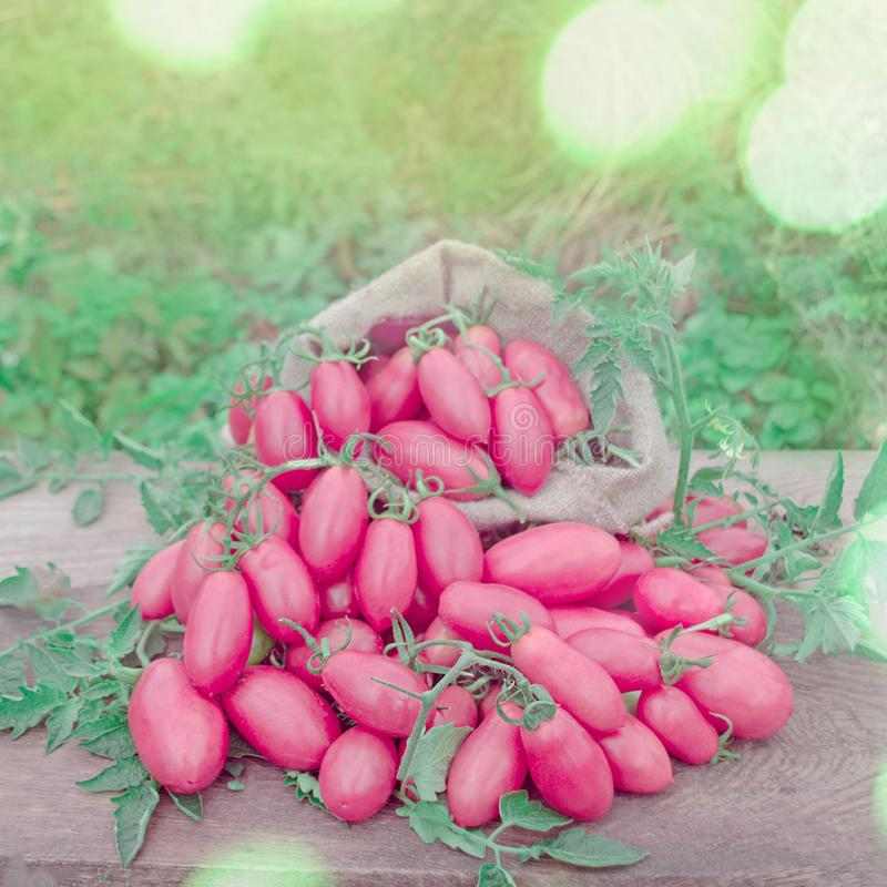 Pink long tomatoes in canvas bag. Fresh long tomato on a wooden table. royalty free stock image