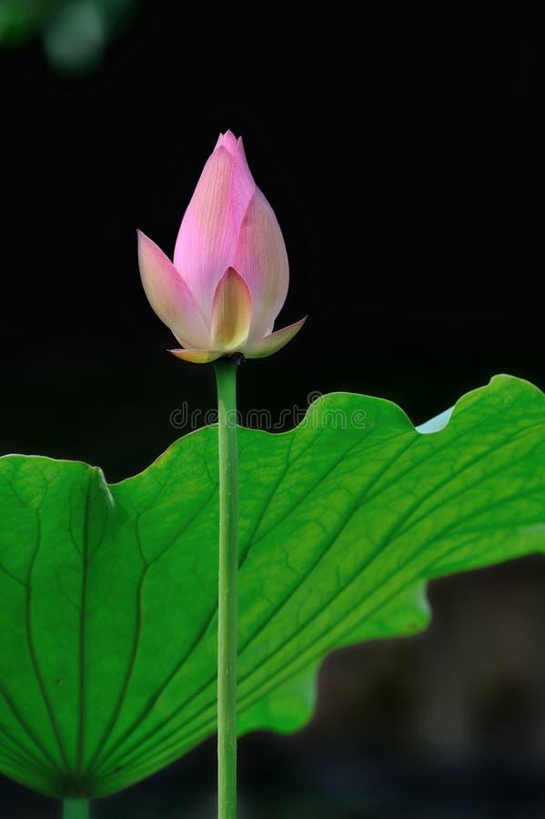 Free Pink Lotus Stock Image - 14964651