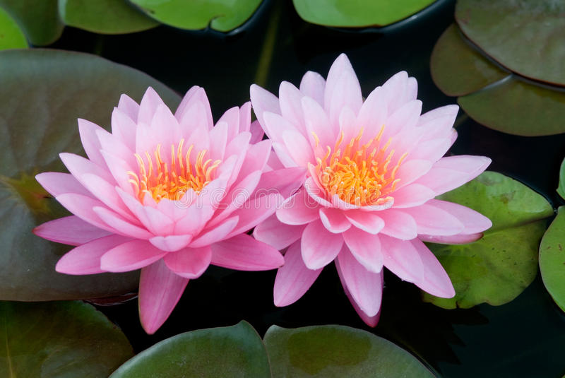 Pink lotus. stock image