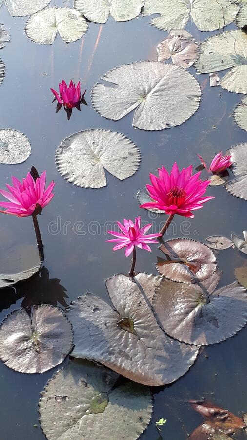 Pink lotus. Pink beautiful lotus with  green leaves in big pond stock photos