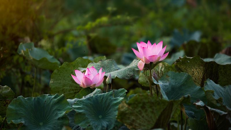 Pink lotus blossoms or water lily flowers blooming royalty free stock image