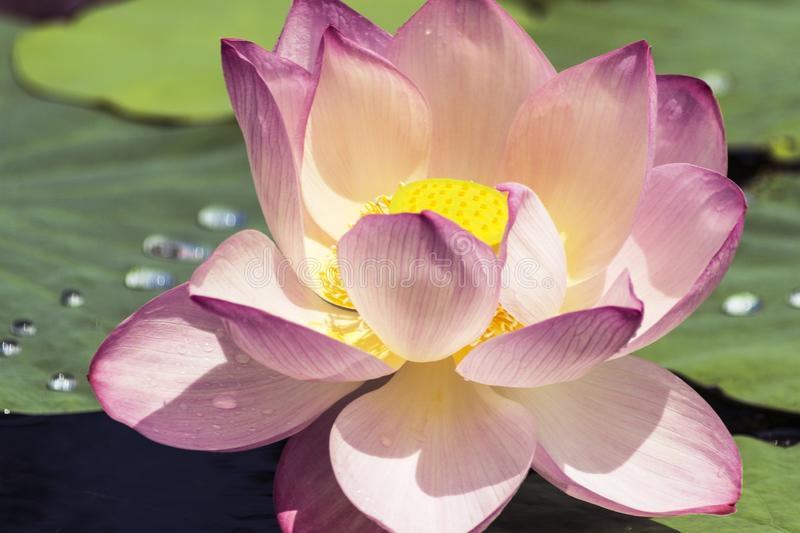 Pink lotus blossoms or water lily flowers blooming on pond royalty free stock images