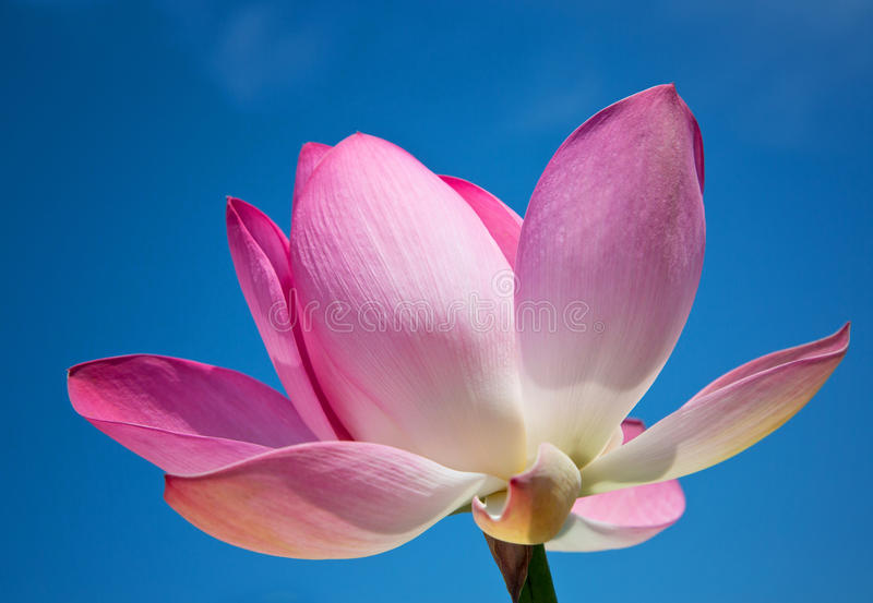 Pink lotus on blue sky background stock images