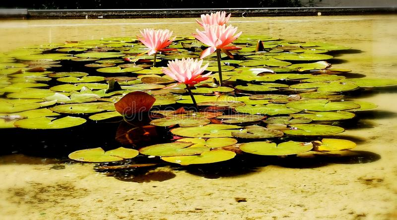 Pink Lotus clicked with Mobile Camera. Tropical, flowers, mobilephotography, decoration, summer, season royalty free stock image