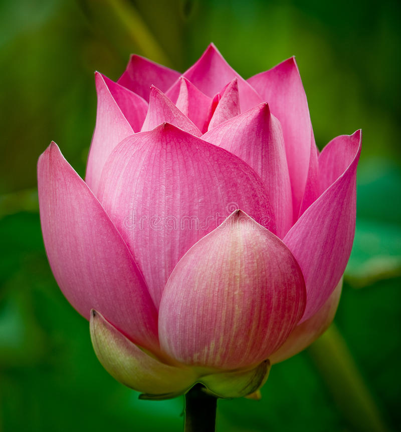 Download Pink Lotus flower stock photo. Image of blossoming, closeup - 10683674