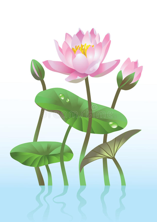 Pink lotus flower. With reflection stock illustration