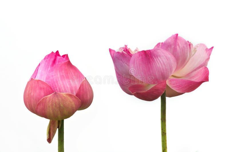 Pink lotus flower .