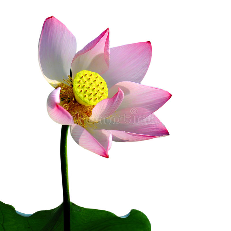 Download A pink lotus flower, stock photo. Image of flower, beautiful - 25869836