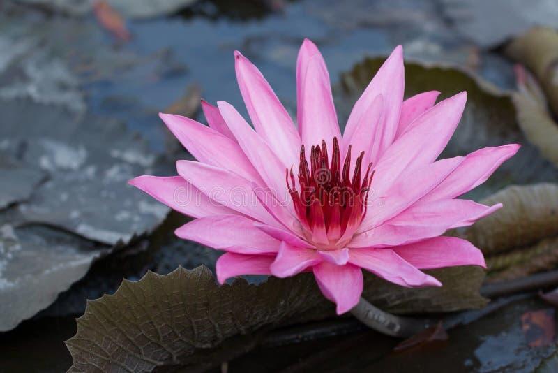 Pink Lotus. Flower royalty free stock images