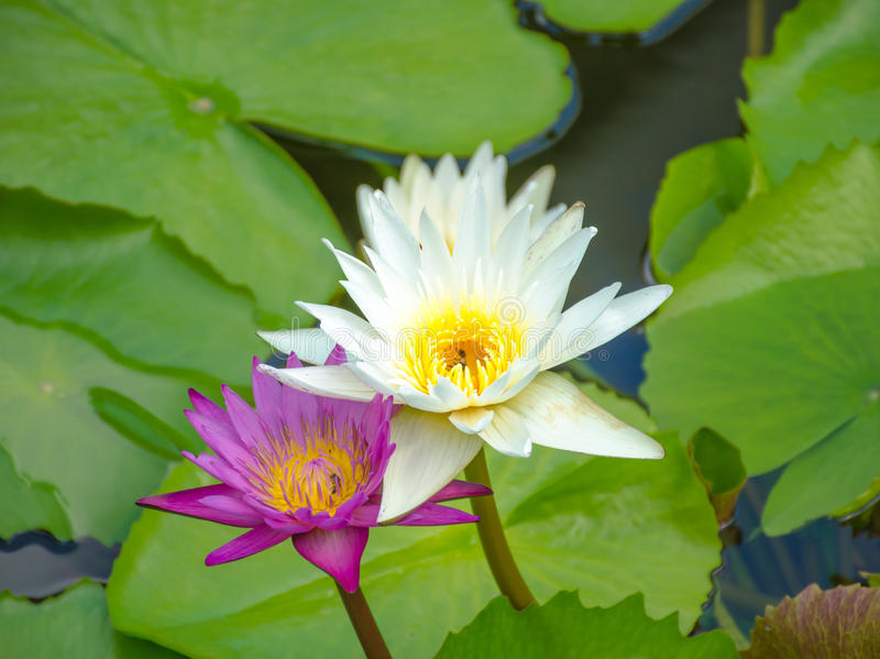 Pink Lotus flower beautiful flower in the pond stock photos
