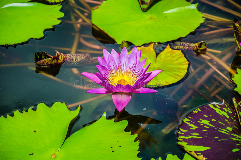 Pink Lotus flower beautiful flower in the pond royalty free stock photo