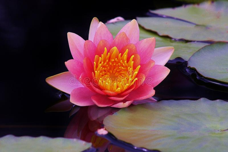 Pink Lotus Flower in Black Tinted Water stock images