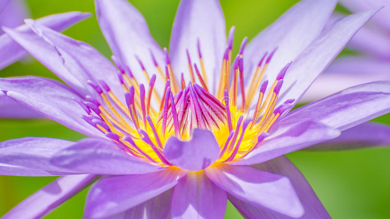 Download Pink Lotus Flower Stock Photo - Image: 33524080