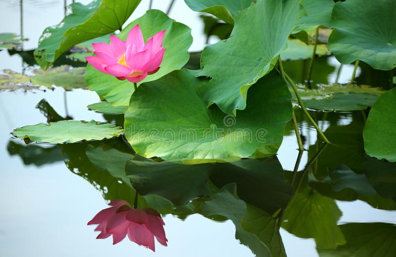 A pink lotus flower blooming among lush leaves in a pond royalty free stock photography