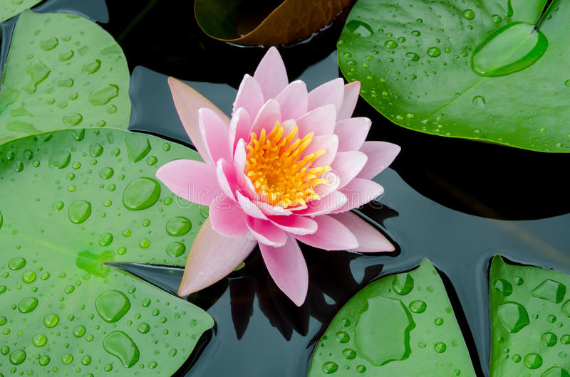 Pink lotus flower stock photo