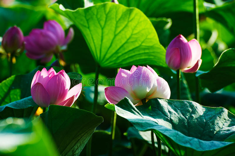 The pink lotus flower buds stock photo image of city 75803806 download the pink lotus flower buds stock photo image of city 75803806 mightylinksfo