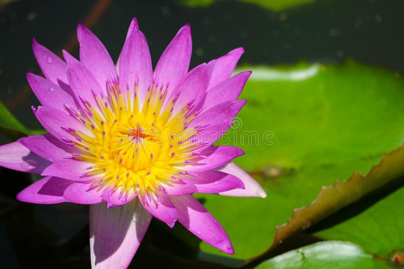 Pink Lotus Flower full blooming in pond and blur pad on water background royalty free stock images