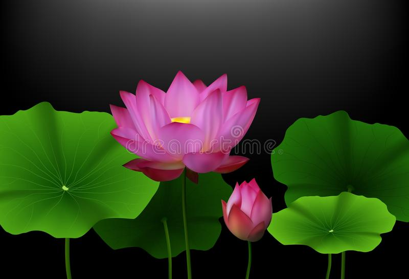 Pink Lotus flower with green leaves on black background royalty free illustration