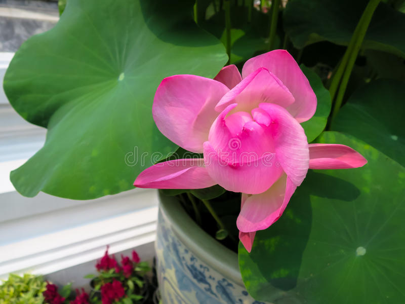 Pink lotus flower and green leaves in porcelain flower pot royalty free stock image