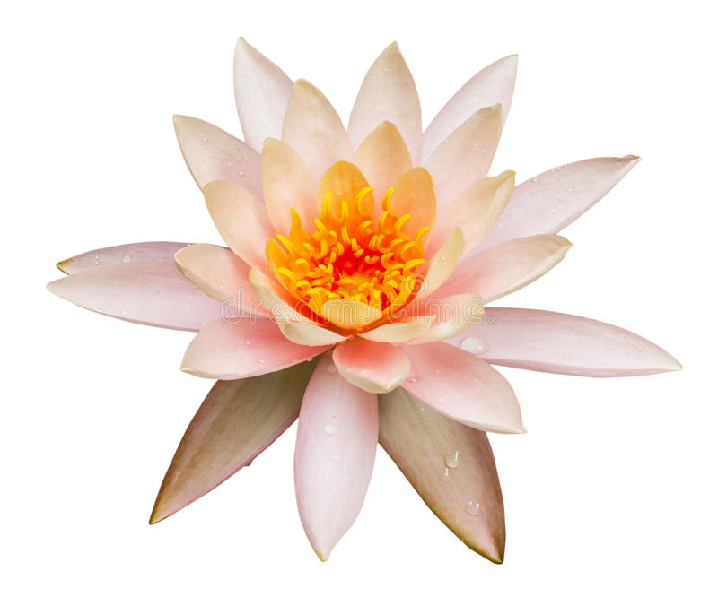 Pink lotus flower isolated royalty free stock images
