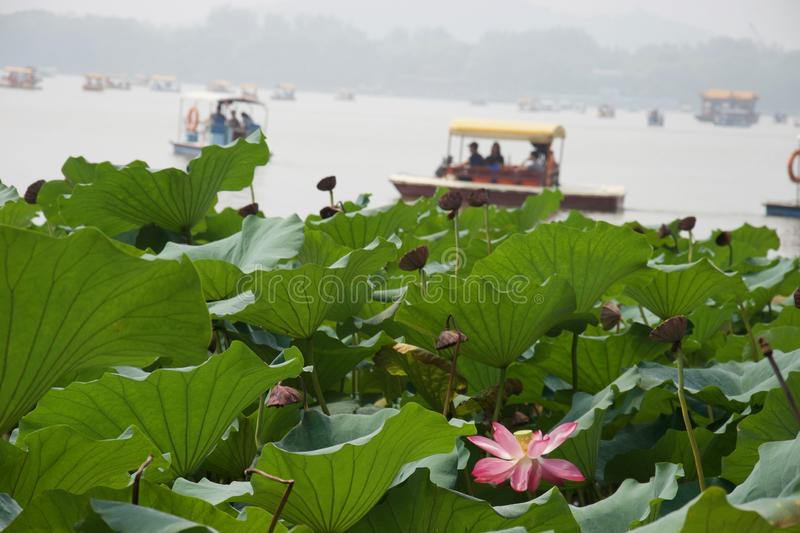 Pink lotus flower, leaves in foreground; boats on misty lake royalty free stock image