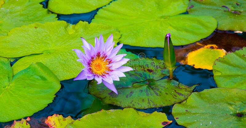 Pink lotus flower, with leaves on the water. royalty free stock photos