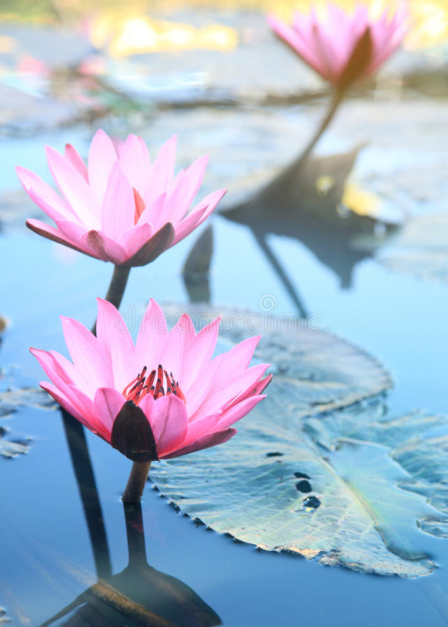 Pink lotus flower. Pink lotus blossoms or water lily flowers bloo. Ming on pond royalty free stock photos