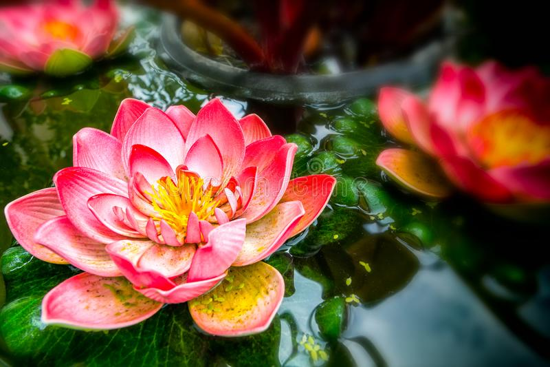 Pink lotus flower royalty free stock images